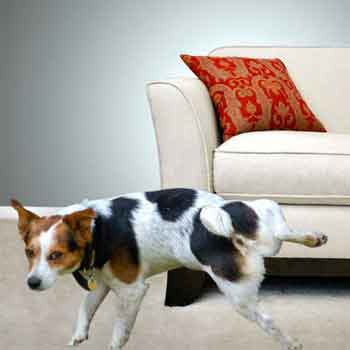 Learn How to Remove Pet Stains from Your Furniture